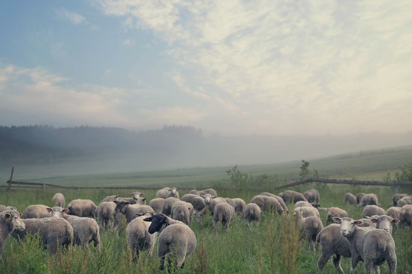 C-02羊-01-002
